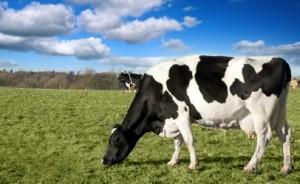 dairycow-grazin