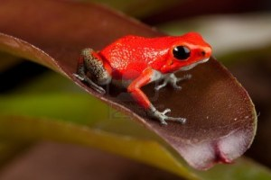 Red Costa Rican Frog